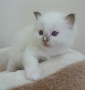 choc-mitted-male-tineeka-x-fudge-litter-4