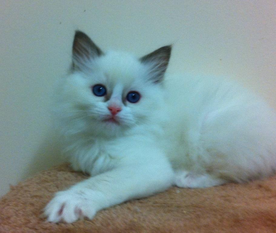 Beautiful Ragdoll Kittens ♥ Amberglade Ragdolls, Registered SA Breeder